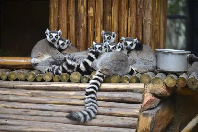 环尾狐猴,小熊猫亮相紫马岭动物园,萌化