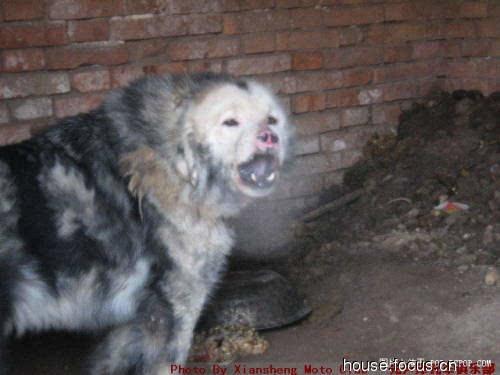 最凶的犬_世界上最凶猛的狗排名,比特犬数分钟咬死藏獒 视频 探秘志