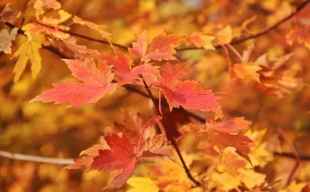 深秋限定枫景上线 快搭好这趟秋景末班车