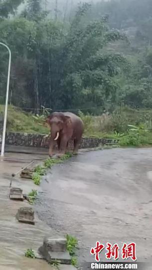 野生亚洲象频繁进村觅食 云南普洱加强应对暂无人员伤亡