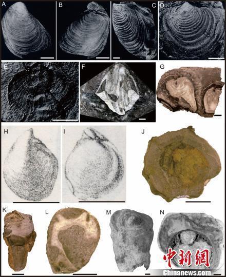 """中国科学家通过双壳类化石见证印度板块晚中生代""""漂移""""过程"""