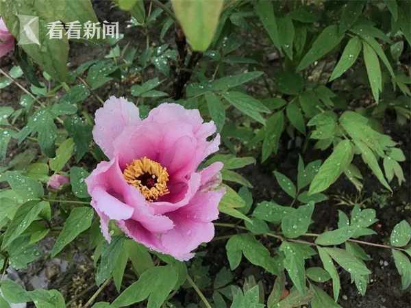 上海植物园牡丹园计划改造景观功能将全面提升