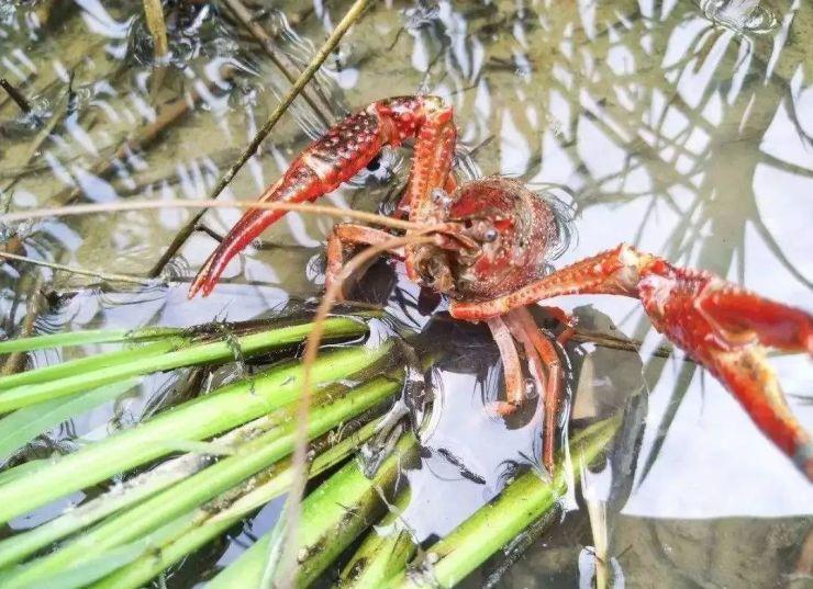 【开放强市 产业立市】常德市纳入环洞庭湖稻虾产业发展规划