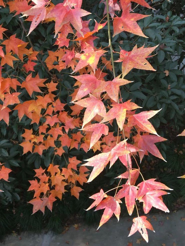 【探索】色彩斑斓迎深秋!沪10家公园彩色叶植物等你来看